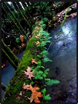 Ferns on log over creek